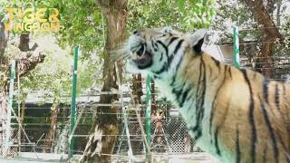 Happy Tigers During Covid Closure! Tiger Kingdom Phuket
