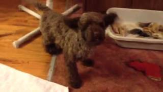 Vicky The Rescue Poodle, With Legg-perthes Disease