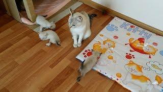 Тайские котята с каждым днём всё смелее выходят из гнезда! Тайские кошки - это чудо! Funny Cats