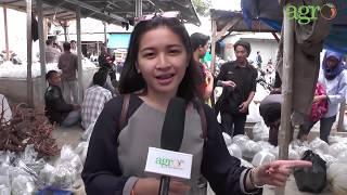 vuclip Agro TV-Mencari Ikan Hias Datang Saja Ke Parung