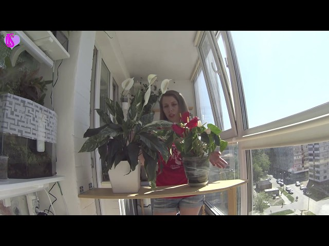 Цветение Спатифиллум (женское счастье) и Антуриум (мужское счастье) Комнатные цветы