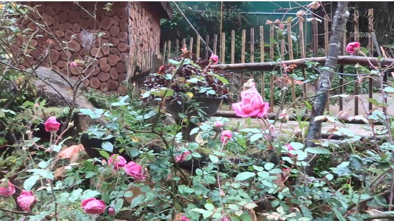 Hoa hồng ở Sapa phần 6 | Ngắm hoa hồng và nhiều cảnh đẹp ở bản Cat Cat - Sapa
