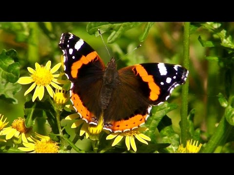 Red Admiral Butterfly - Butterflies in Cornwall