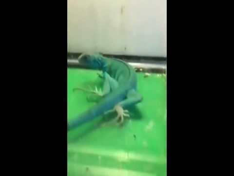 New Yearling Axanthic Blue Iguana
