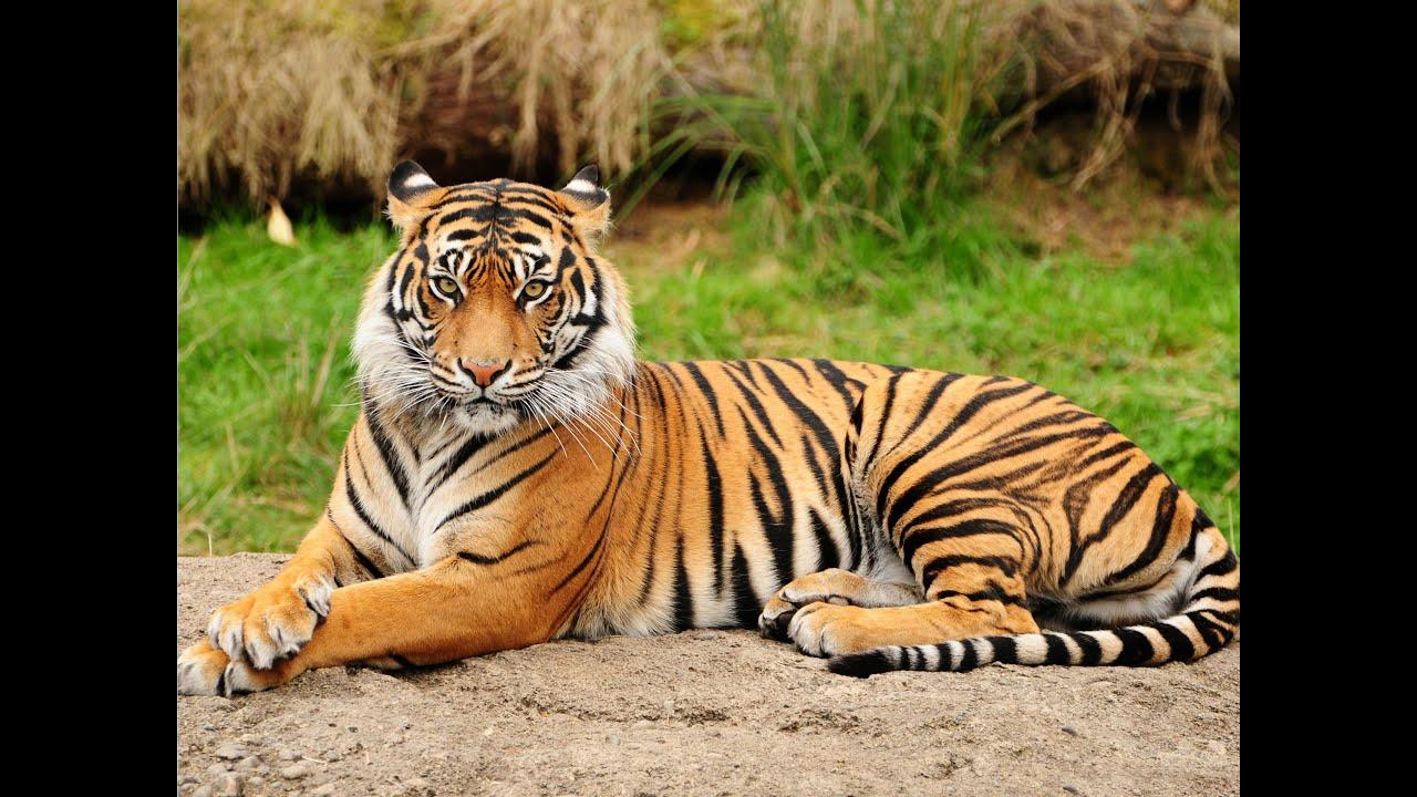 tiger - photo #39