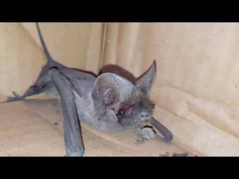 صيد خفاش ذات الأذنين و الذيل الطويل مع جمال العمواسي
