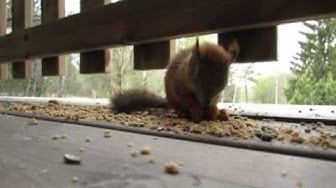 Oravanpoikanen syö ja juttelee