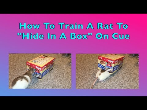 How To Train A Rat To 'Hide In A Box' On Cue