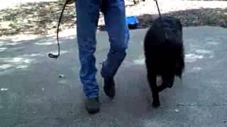 Flower Mound Dog Training | Redeeming Dogs | Shadow - Belgian Sheepdog