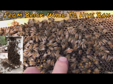 Brick Wall Bee's (how to perform a Trap Out)