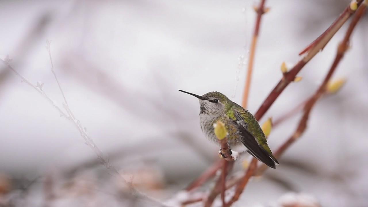 backyard bird watching annas hummingbird youtube