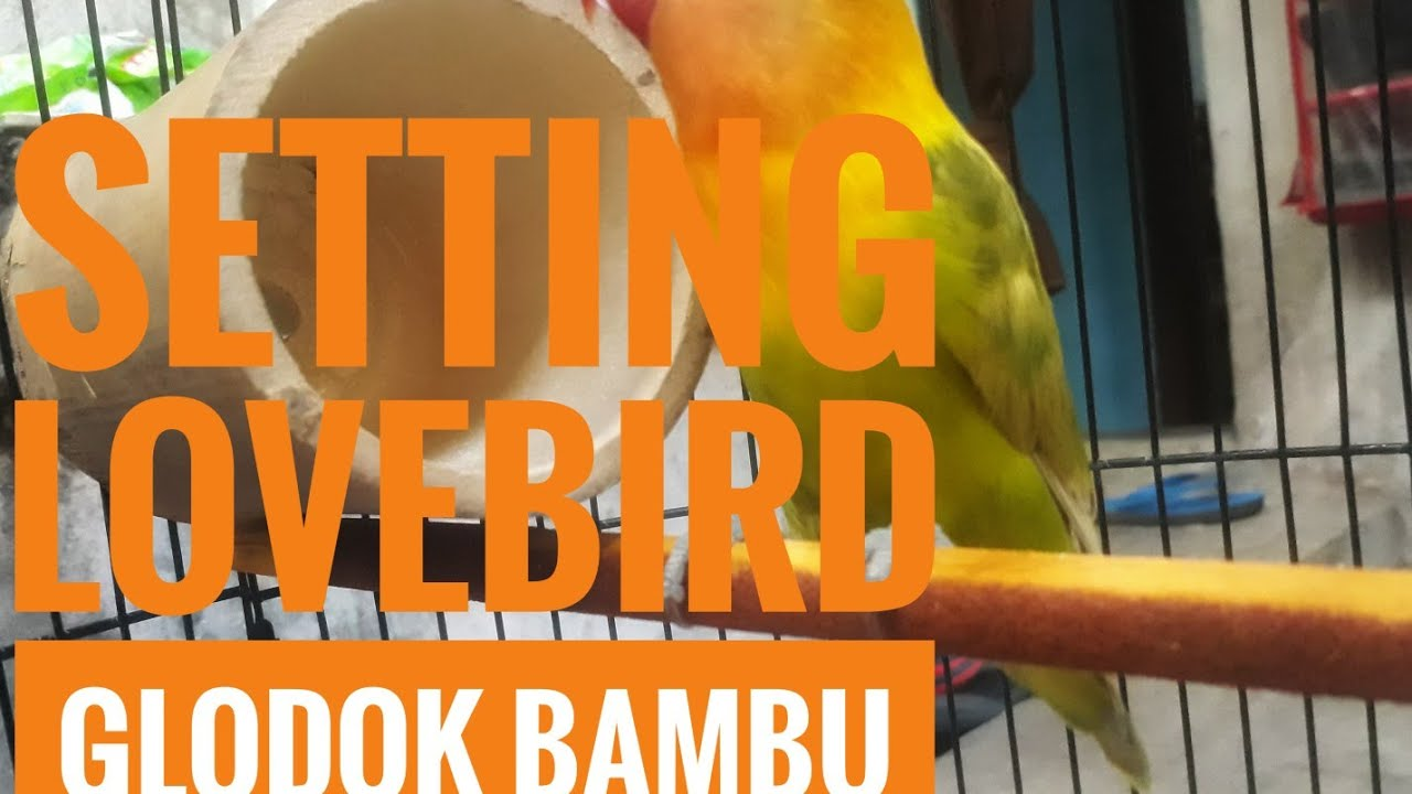 Terapi Bambu Gila Untuk Burung Love Bird Macet By Tanto Java