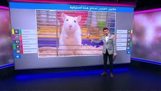 """""""غزو الفئران""""…ملايين الفئران تجتاح الحقول والمنازل في أستراليا"""