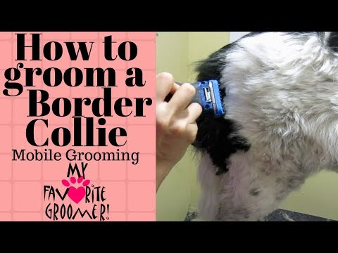 Mobile grooming a Border Collie