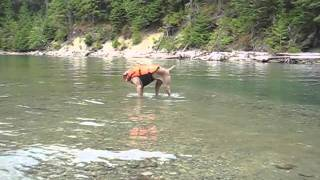 Zuul The Terrordog - Fishing For Tadpoles At Baker Lake, Wa - Weimaraner
