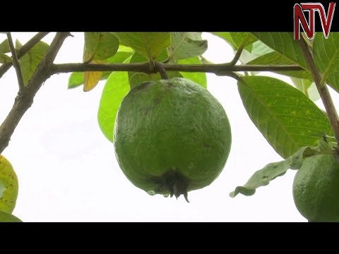 On The Farm: Sylvester Mudusu reaps big from growing guavas in Kasese