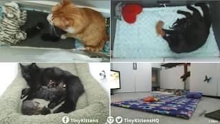 Tiny Kittens Chloe steals the kittens in ramonas nest for herself 4 23 2018 thumbnail