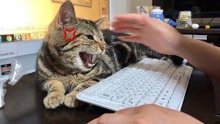徹夜で仕事中の妹を強引に邪魔して怒られてしまった猫w