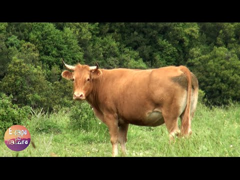Cows mooing and eating # Cow sounds # Birds chirping, cricket sounds.