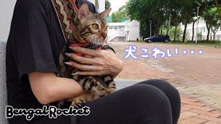 【散歩】散歩中、犬に吠えられビビりまくるベンガル猫のクレス【ベンガルロケット♯110】