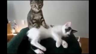 Смешное видео с кошками 2013   Самое лучшее! Забавные кошки