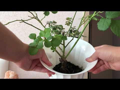 Садовая роза в квартире. Будет расти или нет?