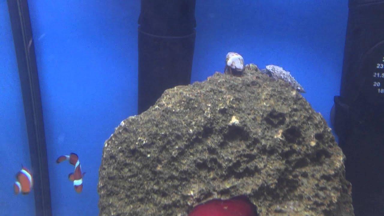 Plafoniere Per Nanoreef : Aquael nanoreef litri pesci pagliaccio actinia equina