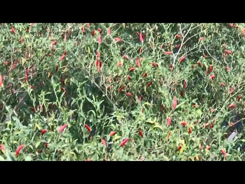 Wow! Chilli Field - Agriculture