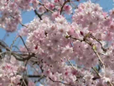 hana-Japanese old song   - kapper.k -