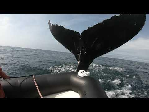 Whale hits zodiac off Brier island NS