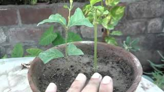 How to Grow Mogra Jasmine From Cuttings | Care of Jasmine Plant | Part-2 (Urdu/hindi)