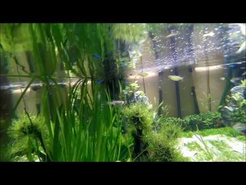 aquarium 300 LITROV 4.4.2017 ...17x paracheirodon simulans, 15x Microdevario kubotai