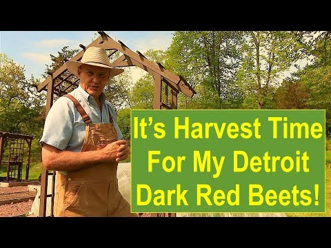 Early-Summer Garden Update 2016: It's Harvest Time for My Detroit Dark Red Beets!