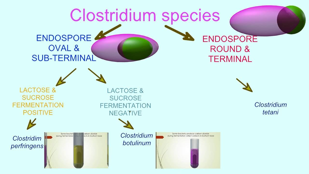 Flowchart Of Bacterial Tests Clostridium Youtube