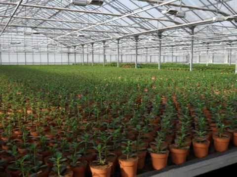 Dutch Adenium Nursery