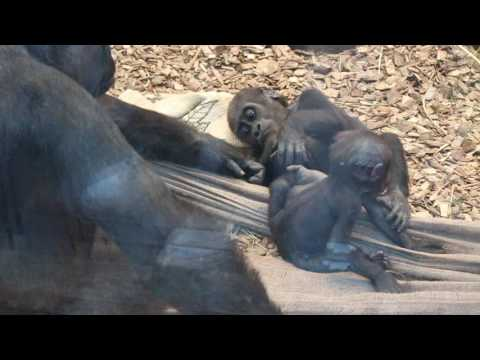 Baby Gorillas Play | ZSL | London Zoo