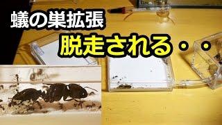 死骸の山!?蟻の巣拡張!生存率が上がるのか!?【外国産ヨコズナアリ】