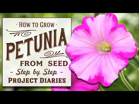 How To Grow Petunia From Seed In Containers A Complete Step By Step Guide Youtube