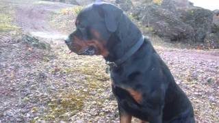 Rottweilers Dog Cute Pup Puppy Training