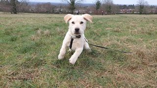 Buddy the Labrador Puppy - 5 Weeks Residential Dog Training