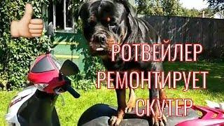 РЕМОНТ  СКУТЕРА С ПОМОЩЬЮ РОТВЕЙЛЕРА.Воспитание и дрессировка собак