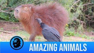 Vulture Eats Ticks Off Capybara