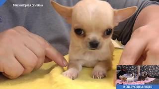 Как подстричь ногти собаке щенку ЧИХУАХУА