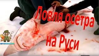 Ловля осетра на Руси(Осетр - рыба, которую издревле добывали на Руси. Именно давно и всегда. Причем с ужасом можно сейчас говорить..., 2016-04-22T15:30:00.000Z)