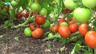 Вот это помидоры!!! Ещё не пробовали такие?!