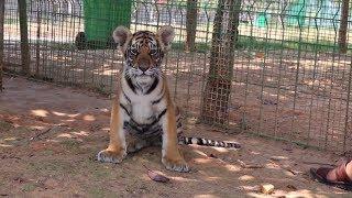 Полосатая ферма  китаец выращивает тигров для сохранения популяции