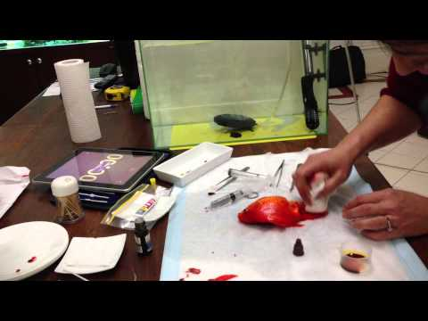 Goldfish Tumor Removal Surgery & Post Surgery. no need to euthanize.