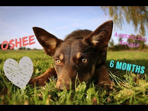 ♥ OSHEE - Australian Kelpie | 6 months ♥