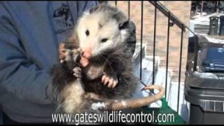 Oppossum Playing Possum Avoids Attacks