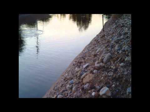 Carp on SRP Arizona Canal
